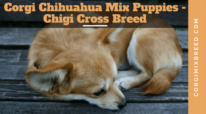 All About Corgi Chihuahua Mix Puppies Chigi Cross Breed Corgi