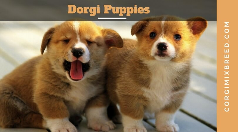 Corgi Dachshund Mix Dorgi Puppies Corgi Mix Breeds